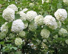 Bulgari....flori minunate... Viburnum Opulus Roseum, Rose Plant Care, Desert Rose Plant, Garden Shrubs, White Gardens, The Great Outdoors, Beautiful Flowers, Landscape, Hagen