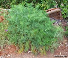 Foeniculum vulgare - Fennel - Edible Weeds and Bush Tucker Plant Foods Weed Plants, Herbal Plants, Medicinal Weeds, Foeniculum Vulgare, Edible Wild Plants, Living Off The Land, Wild Edibles, Fennel, Trees To Plant