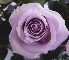 Fragrant LAVENDER Cottage Garden CLIMBING Rose Plant - want one for the patio area to climb the trellises