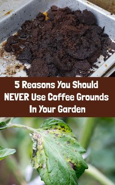 Garden Ideas Discover 5 Reasons You Should NEVER Use Coffee Grounds In Your Garden The theory that coffee grounds are good for your garden is the biggest gardening lie ever told. Heres five reasons to never put coffee on your plants. Coffee Grounds For Plants, Used Coffee Grounds, Coffee Grounds As Fertilizer, Garden Coffee, Organic Gardening Tips, Gardening Hacks, Kitchen Gardening, Container Vegetable Gardening, Vegetable Garden Tips
