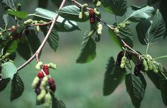 Plant Mulberries to protect your Cherries from birds. The Mulberries will provide enough food to distract the birds from your cherries AND to feed you.