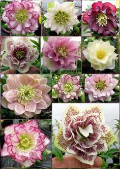 French hellebores  LOVE the color!