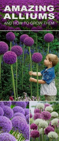 How to Grow Amazing Alliums Amazing Alliums! • Your tulips and daffodils may still get top billing in the spring, but make sure you tuck some alliums into your flower beds as well. Here is how to grow those amazing alliums! Beautiful Flowers, Outdoor Gardens, Flower Beds, Flower Garden, Daffodils, Growing Flowers, Plants, Planting Flowers, Gardening Gloves