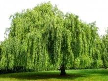 I would LOVE to have a Weeping Willow Tree in my backyard.. Sooooo Beautiful!