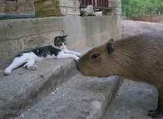 Capybara Madness! Meet a Giant Rodent Who Hugs Cats   Catster