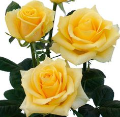 Yellow Ecuadorian Roses.  Pretty.  Yellow roses have been said to symbolize friendship.