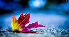 Kolorowy, Jesienny, Liść