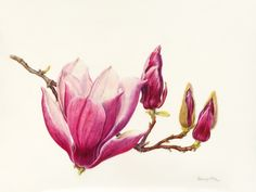 Beverly Allen Old Port Magnolia Magnolia x soulangiana 'Old Port' Watercolor on Vellum 10.5 x 8.25 inches