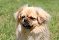 #Tibetan #Spaniel:  A very intelligent breed, the Tibetan Spaniel thrives on human companionship and needs to be with its people. Tibbies need only moderate exercise, so they are excellent in apartments. Their double coats need weekly brushing.