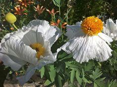 Californian Tree Poppy Romneya Coultery Annabelle Hydrangea, Low Maintenance Garden, Poppy, Purple, Flowers, Plants, Drop, Poppies, Purple Stuff