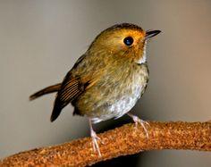アカメヒタキ Rufous-browed Flycatcher (Anthipes solitaris, Digenea solitaris, Ficedula solitaris)