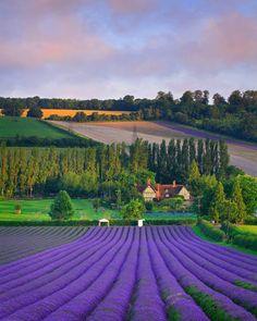 Spectacular landscape with Lavender Field, Eynsford - England