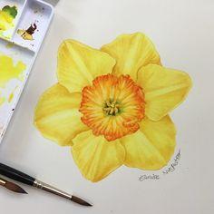 Another practice #narcissus #daffodil #botanicalart #botanical #painting…