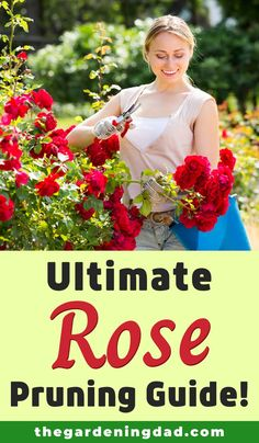 Learn everything you need to know to prune your roses with the Ultimate Rose Pruning Guide. This article will make pruning roses easy, quick, and perfect for beginners! Gardening For Beginners, Gardening Tips, Flower Gardening, Landscaping With Roses, Pruning Roses, Rose Garden Design, Natural Pesticides, Organic Roses, Find Color