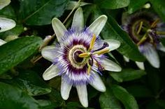 Image result for passion flower study
