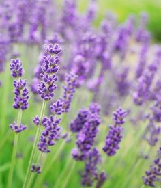 Cut and care for lavender properly – Growing Lavender Gardening - Growing Plants at Home Irrigation, Growing Lavender, Natural Mosquito Repellant, Fast Growing Trees, Lavender Scent, Lavender Plants, Lavender Garden, Lavender Flowers, Fresh Flowers
