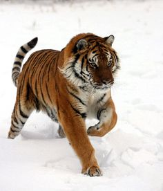 Siberian Tiger Running In Snow.