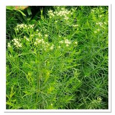 Pycanthemum tenufolium, Mountain Mint, landscape