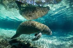 Manatee 2 Photo by Tobias Frei — National Geographic Your Shot