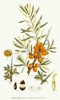 Sea buckthorn illustration. It's the season!