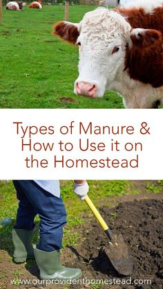Do you have many animals on your homestead? Click here to find out how you can utilize their manure to increase yields in your garden and orchard. #manure #homesteading #Gardening #Composting via @ourprovidenthom