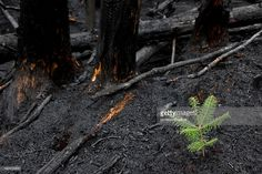 Image result for trees that grow after a fire