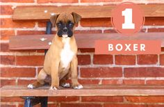 boxer dogs breed, Dog Breeds