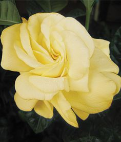 Definitely planning on including gardenias in our garden re-vamp. Gardenia, Golden Magic