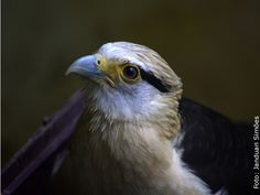 Gavião Carrapateiro - Yellow-headed Caracara (Milvago chimachima) Zoológico de Salvador, BA