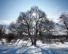 Snow covered Katsura in Highland Park, Rochester, NY