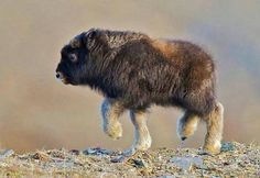 Baby bison, who knew they were so cute Cute Baby Animals, Animals And Pets, Funny Animals, Large Animals, Wild Animals, Baby Squirrel, Baby Sloth, Baby Pangolin, Otter