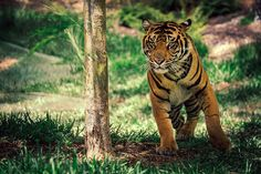 Tiger on the Move | Flickr - Photo Sharing!