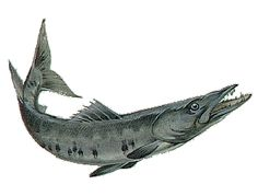 image result for barracuda fish diagram barracuda pinterest rh pinterest co uk barracuda clipart black and white barracuda clipart black and white