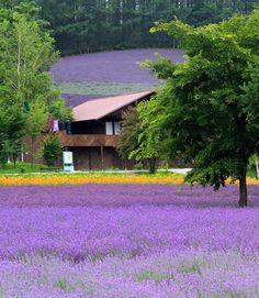Lavender field in Furano, Hokkaido, Japan: photo by Akihisa Kitanosono