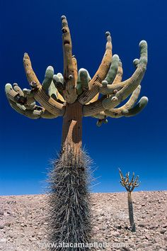 Giant Candelabre Cactus in the northern Atacama, Chile