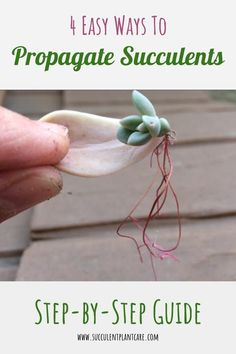 Succulent Care Discover 4 Easy Ways to Propagate Succulents: A Step-by-Step Guide Most succulent plants are easy to propagate. Here are four of the easiest ways to propagate succulents (step-by-step with pictures). Propogate Succulents, Propagate Succulents From Leaves, Baby Succulents, Succulent Landscaping, Types Of Succulents, Growing Succulents, Succulent Gardening, Succulents In Containers, Planting Flowers