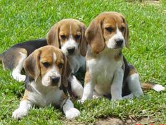 Beagle Photos  The Peoples Foods Dogs Are Allowed To Choose (Plus, The Ones They Can Not) http://perfecthomebiz.online/category/pets-food-care/