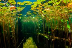 Fresh Water Life - Ponds, Rivers, and Lakes. Underwater Life, Underwater Photos, Underwater Photography, Nature Photography, Aquascaping, Biotope Aquarium, Pond Life, Lily Pond, Fish Tank