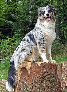 Blue merle Australian Shepherd Dog
