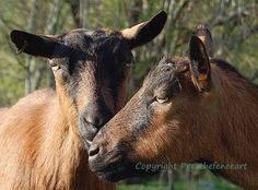 Fine Art Photo Card Goat Kisses by overthefenceart on Etsy, $4.00
