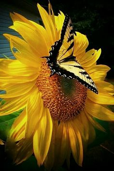 Image in Butterfly World collection by Cristela Uploaded by Cristela. Find images and videos about butterfly sunflower and flowers on We Heart It - the app to get lost in what you love. Beautiful Butterflies, Beautiful Flowers, Beautiful Pictures, Exotic Flowers, Beautiful Gorgeous, Absolutely Stunning, Simply Beautiful, Flora Und Fauna, Mellow Yellow