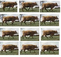 cowwalkscreengrab