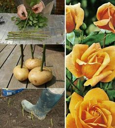 How to Growing Roses Using Potatoes Before planting cuttings, push the bottom end into a small potato, which he believes keeps the cuttings moist as they develop roots. Vegetable Garden, Garden Plants, House Plants, Growing Seedlings, Growing Plants, Container Gardening, Gardening Tips, Potato Gardening, Planting Potatoes