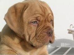 Image result for cuccioli di dogue de bordeaux