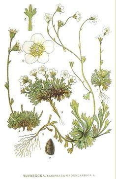 Botanical - Flower - Saxifraga Groenlandica
