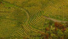 Vineyard in autumn colours Autumn Colours, Vineyard, Explore, Photos, Outdoor, Outdoors, Pictures, Vine Yard, Vineyard Vines