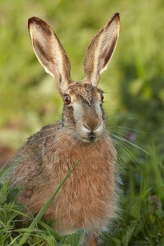 Feldhase - European Hare - Lepus europaeus | hot ears ;-) | Andreas Gruber | Flickr