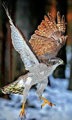 Wildlife Photography, Animal Photography, Beautiful Birds, Animals Beautiful, Northern Goshawk, Animals And Pets, Cute Animals, Hawk Bird, Photo Animaliere