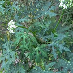 Chaya Is a Tasty Perennial Vegetable | MOTHER EARTH NEWS