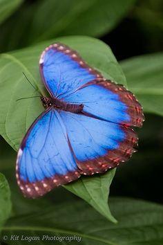 Blue Morpho_butterfly_Wisley_39973wm by KitLKat, via Flickr